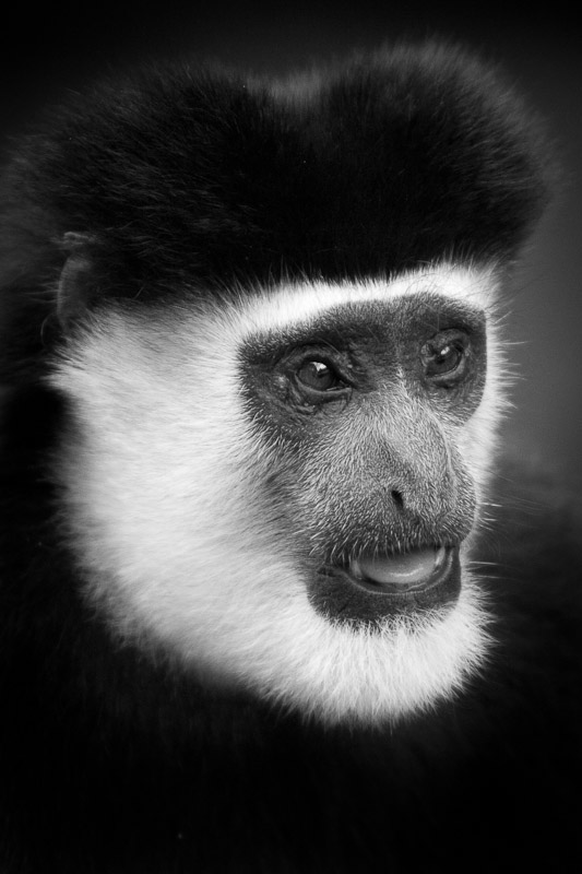 If you would like to use this image of a colobus monkey please click