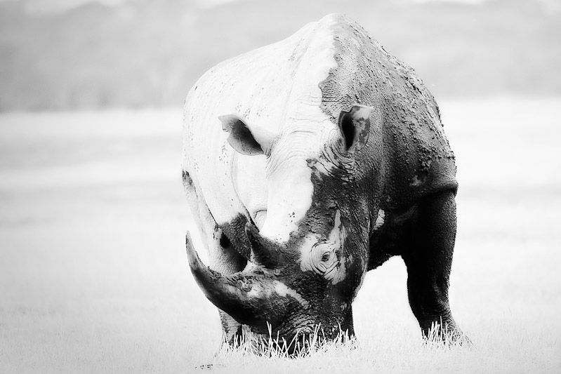 fine art monochrome image of rhino