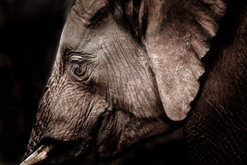 fine art image of elephant