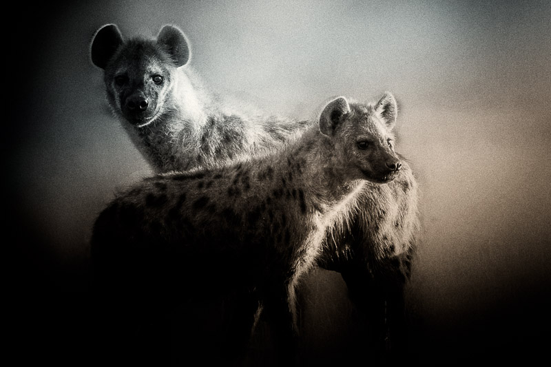 fine art texture blend of two hyena | photos of Africa ...