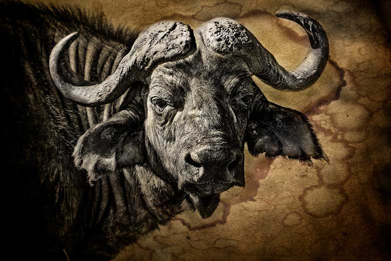 artistic rendering of a buffalo head with tea-stained paper background