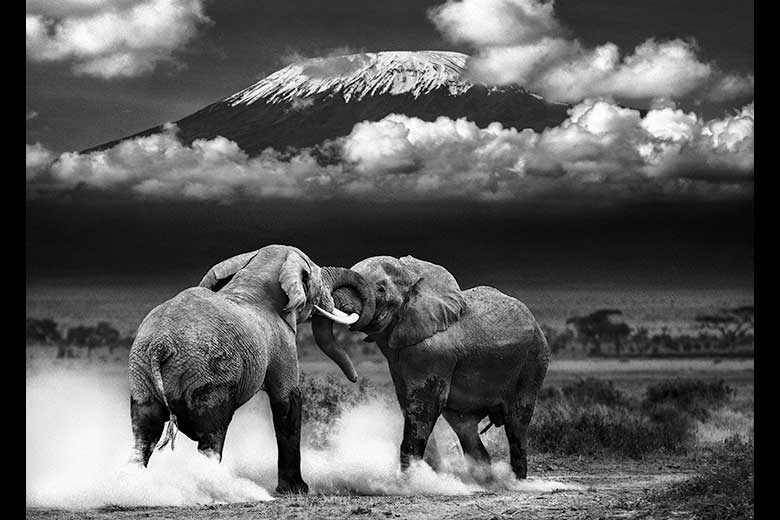 artistic rendering of elephant fighting in front of Mt. Kilimanjaro