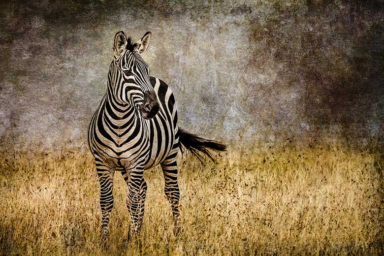 artistic rendering of zebra in grassland with tail flick