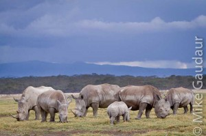 six rhinoceros in the rain