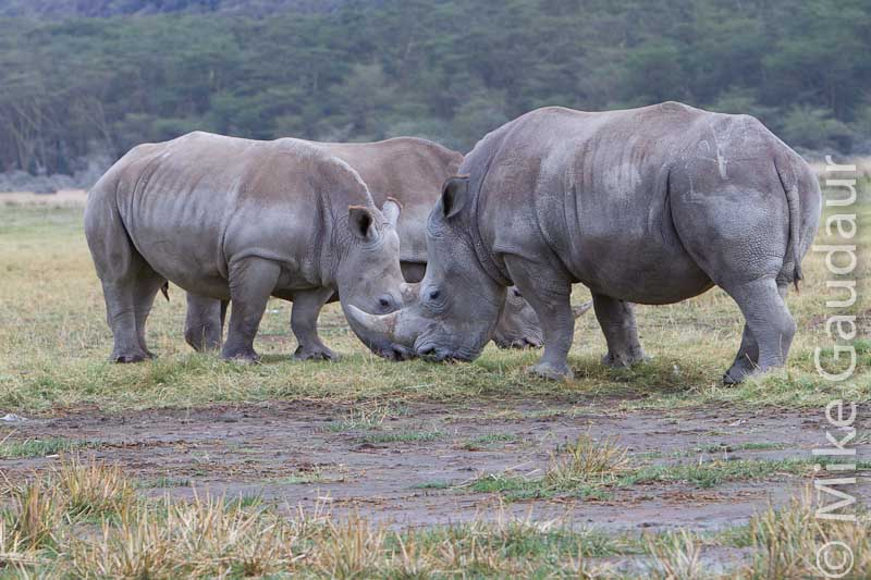 rhino trio - unedited RAW file