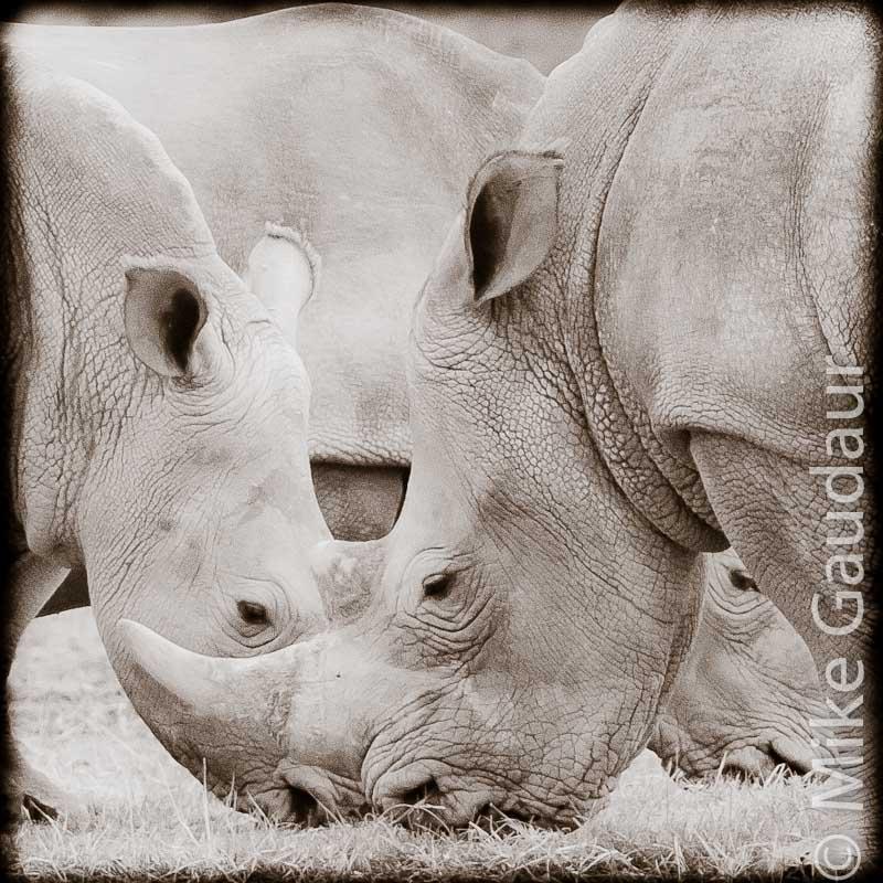 three rhinoceros with Lightroom edits
