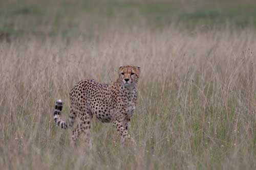 unprocessed RAW file of cheetah in tall grass