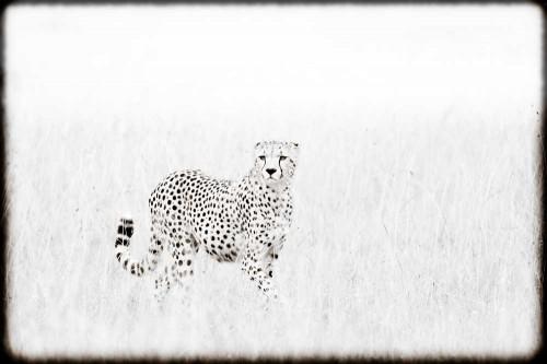 cheetah prowling in tall grass