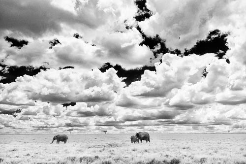 elephants grazing in long grass black and white