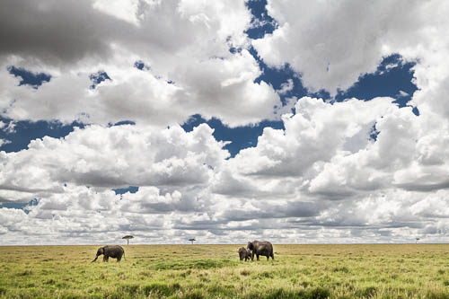 elephants grazing under fluffy white clouds colour