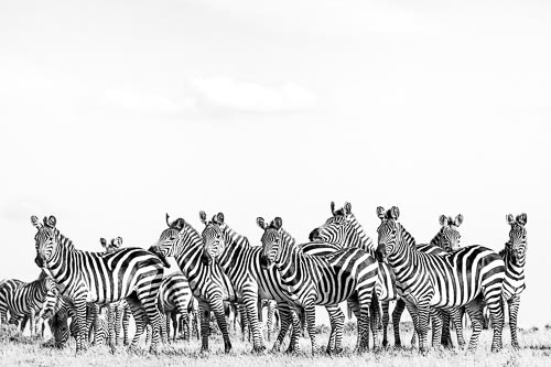 black and white conversion of zebra herd