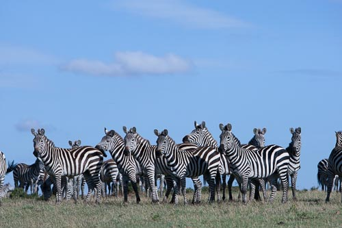 original image of zebra herd