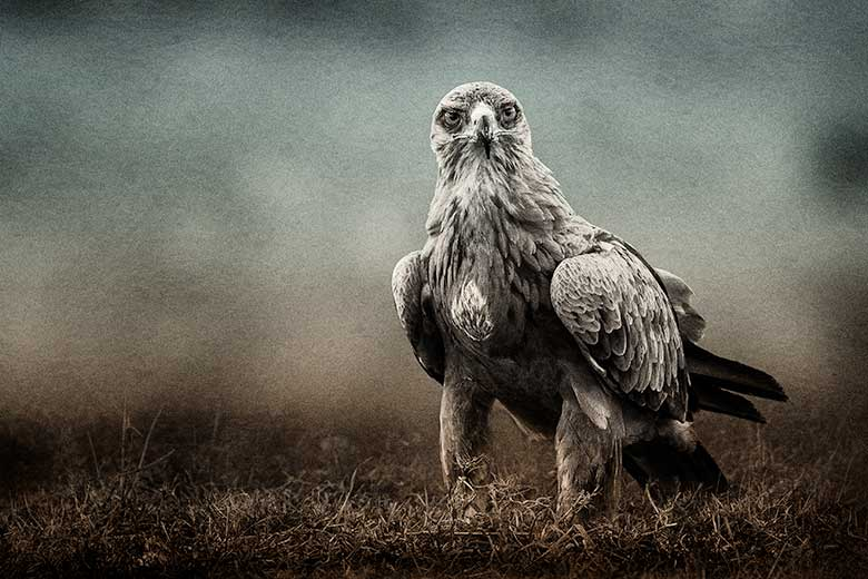 artistic rendering of tawny eagle blended with rice paper background