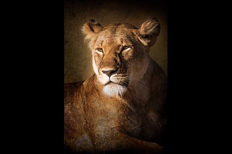 artistic rendering of lioness portrait