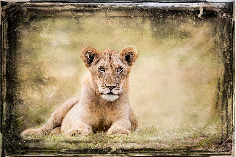 artistic rendering of a lioness relaxing blended with film grunge background