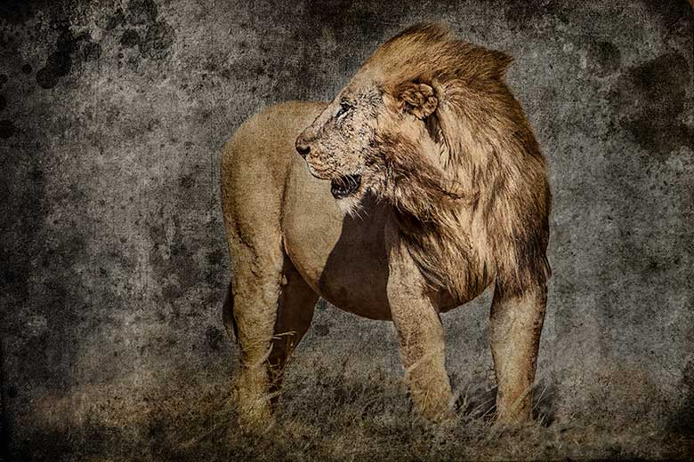 artistic rendering of lion facing into the wind