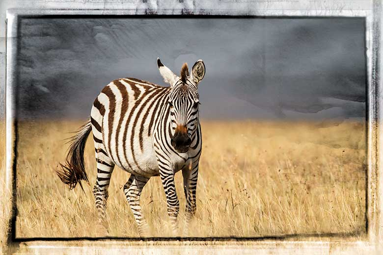 artistic rendering of zebra on savannah