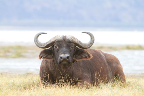 Cape Buffalo with oxpecker RAW file