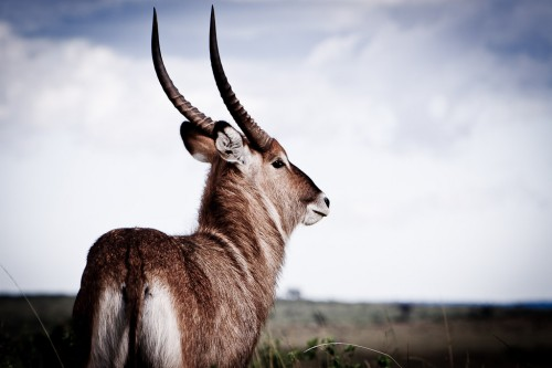 male waterbuck on the Masai Mara
