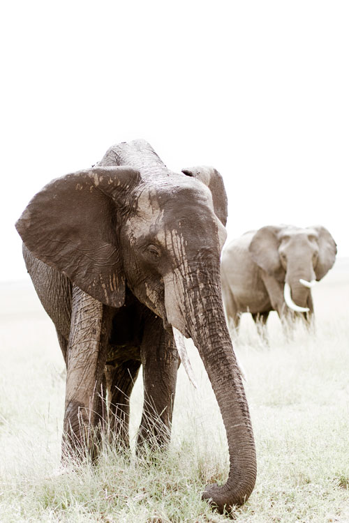 fine art image of two elephants