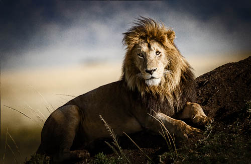 a regal looking lion reclines on a small hill.