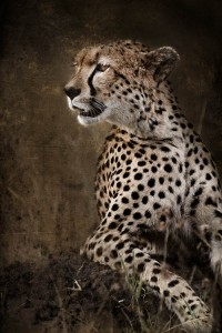 Chill Cheetah